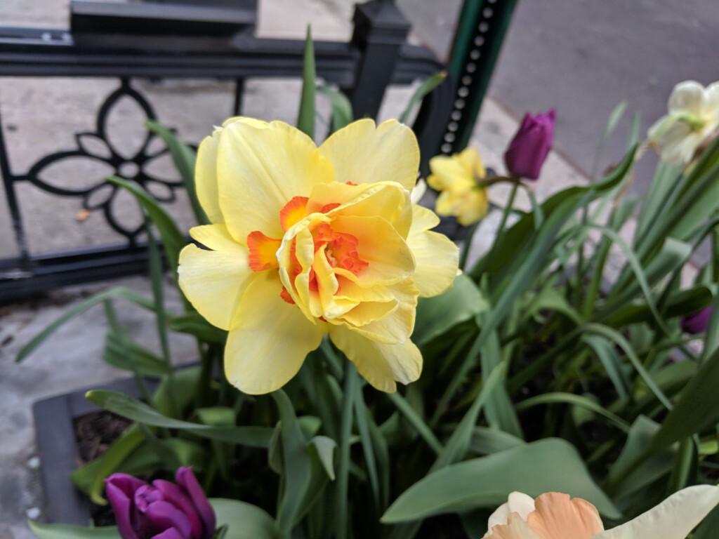 Daffodil in full bloom
