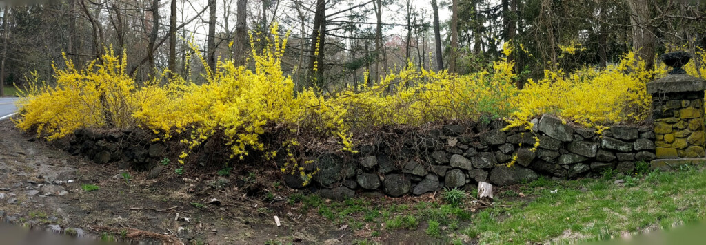 Forsythia along a stone wall in spring