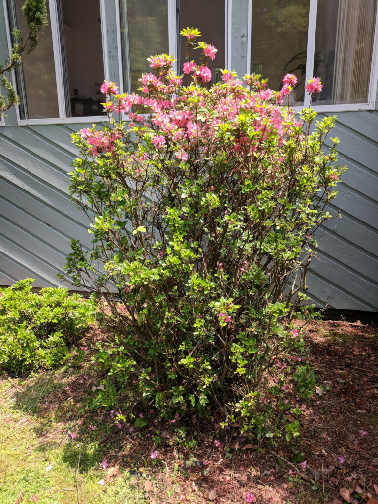Large azalea bush after pruning dead branches
