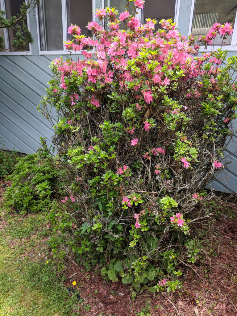 Large azalea bush before pruning dead branches