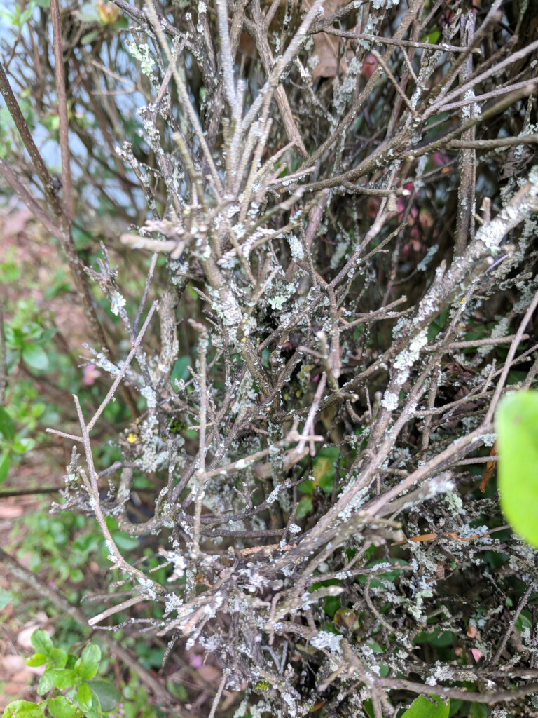 Close up of branches with fungus which is why large azalea bush needed pruning